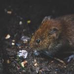 Tikus Got: Ciri-ciri, Bahaya, dan Cara Mengusir yang Tepat