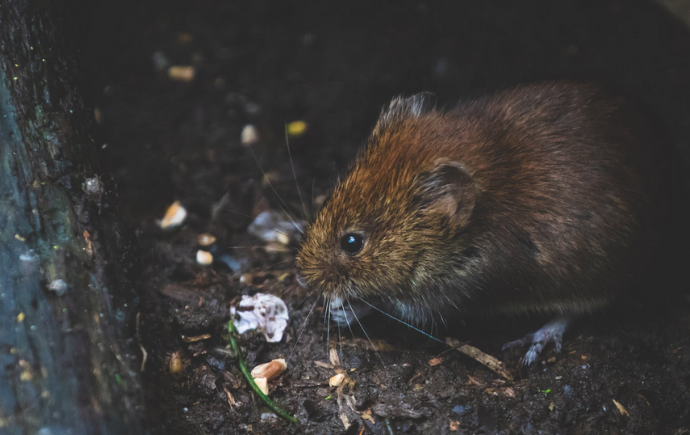 Gambar 1 - Ciri-ciri tikus got