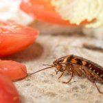 Cara Sederhana Untuk Menghilangkan Dan Mencegah Kecoa Di Rumah