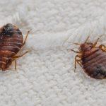 Cara Alami untuk Menghilangkan Kutu Busuk di Tempat Tidur
