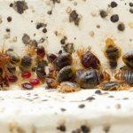 Langkah Tepat untuk Membasmi Kutu Busuk dan Telurnya dari Tempat Tidur
