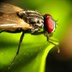 Langkah Praktis Cara Mengusir Lalat Buah