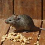 Ga Pake Ribet! Cara Praktis Mengusir Tikus dari Plafon Rumah