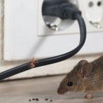7 Cara Mengusir Tikus Dengan Bahan Alami, Mudah Buat Sendiri!