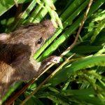 Cara Membasmi Tikus Di Sawah Sampai Beres