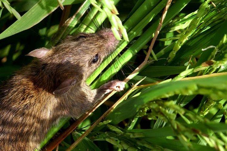 Cara Membasmi Tikus Di Sawah Sampai Beres   Fumida