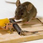 Lakukan Langkah Pencegahan Ini Agar Tikus Tidak Masuk Rumah!