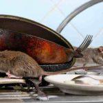 Cara Membasmi Tikus Di Dapur Secara Sederhana
