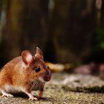 Cara Alami Mengusir Tikus Dengan Menggunakan Bahan Ini