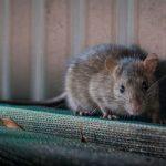 Tikus Hilang Selamatnya! Begini Cara Membuat Perangkap Tikus Massal