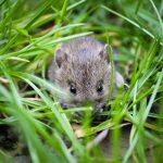 Aman dan Praktis, Ramuan Pengusir Tikus di Sawah