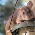 Cara Mengatasi Tikus yang Membandel di Rumah