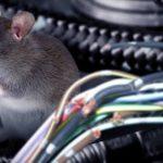 Cara Ini Sangat Mudah Untuk Mengatasi Tikus di Mobil