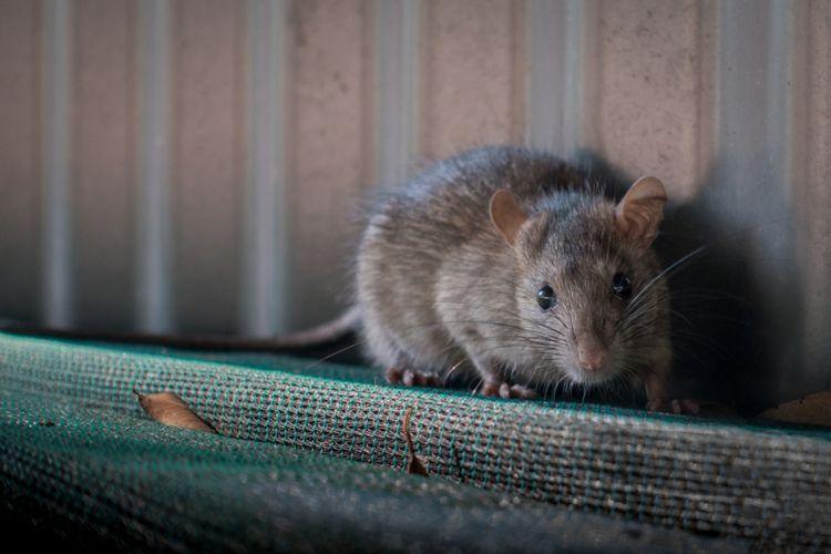 Cara Mengusir Tikus Di Rumah Yang Wajib Anda Tahu