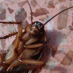 6 Cara Membasmi Kecoa agar Rumah Tetap Sehat