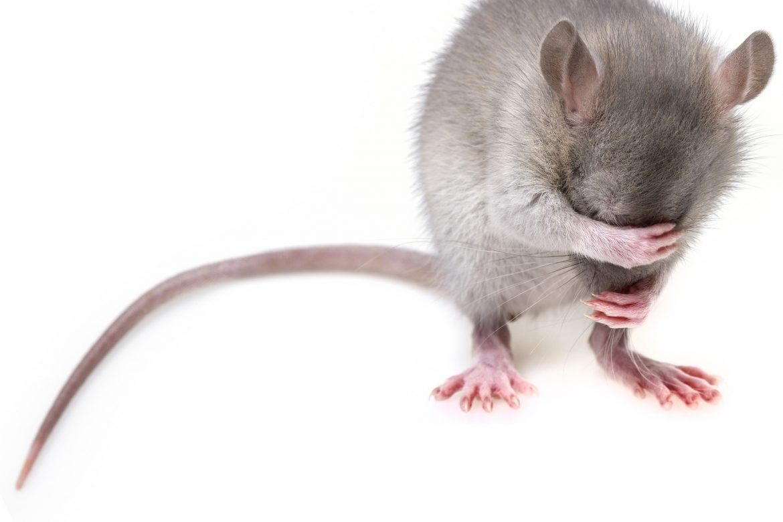 Usir Tikus dari Plafon Rumah