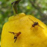 Bahaya Untuk Pencernaan, Kenali 6 Cara Membasmi Lalat Buah Paling Efektif
