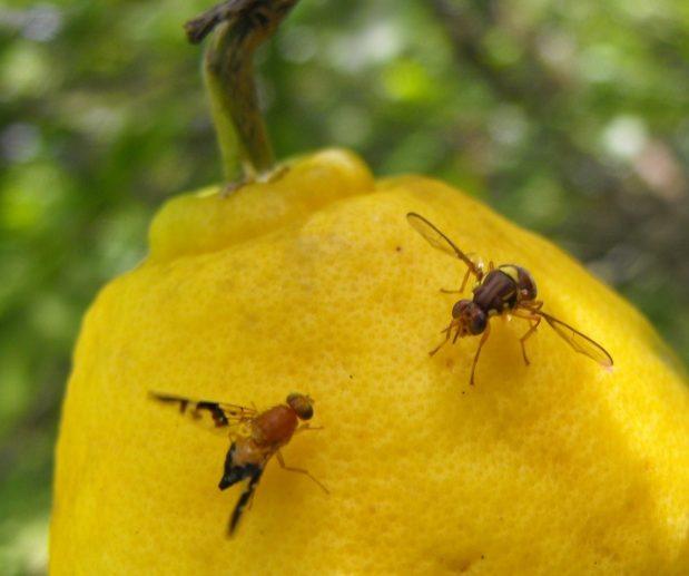 Cara Membasmi Lalat Buah Paling Efektif