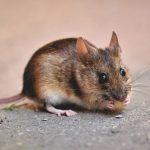 Cari Tahu 6 Penyebab Tikus Masuk Rumah dan Menyebarkan Penyakit