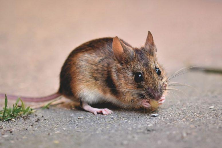 Penyebab Tikus Masuk Rumah dan Menyebarkan Penyakit