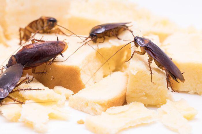 Alasan Mengapa Kecoa Berkeliaran di Dapur