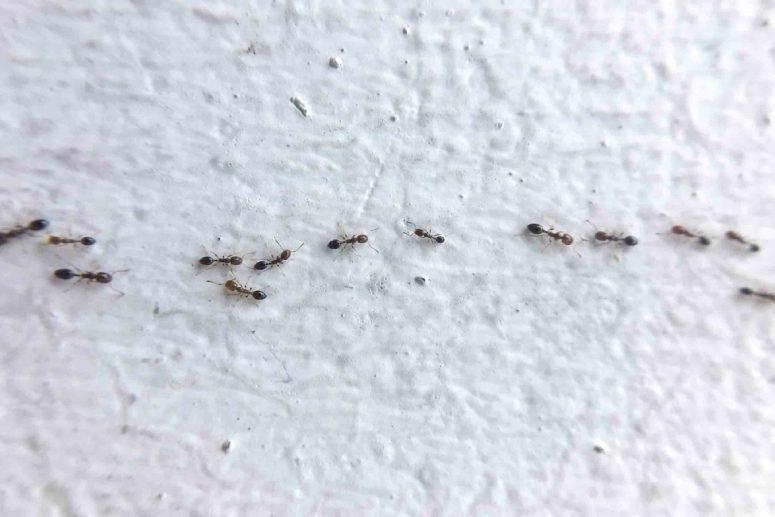 Cara Membasmi Semut Di Rumah