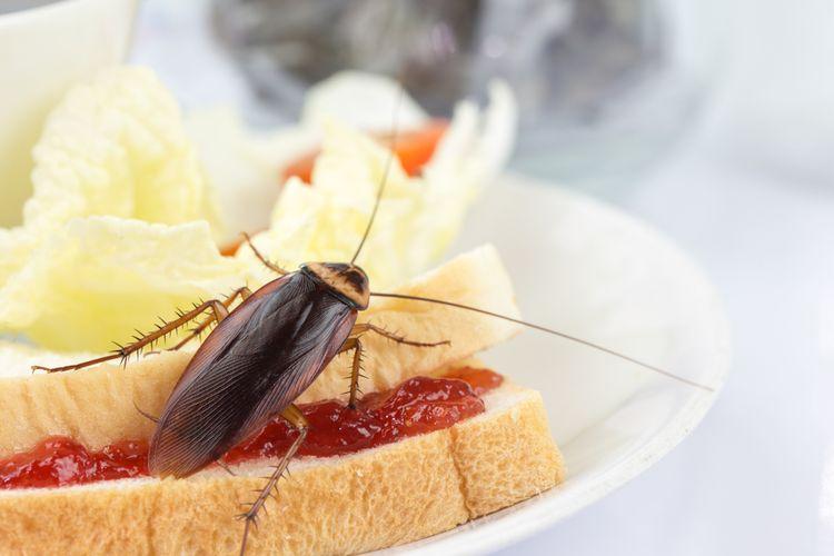Bahaya Kecoa Bagi Kesehatan