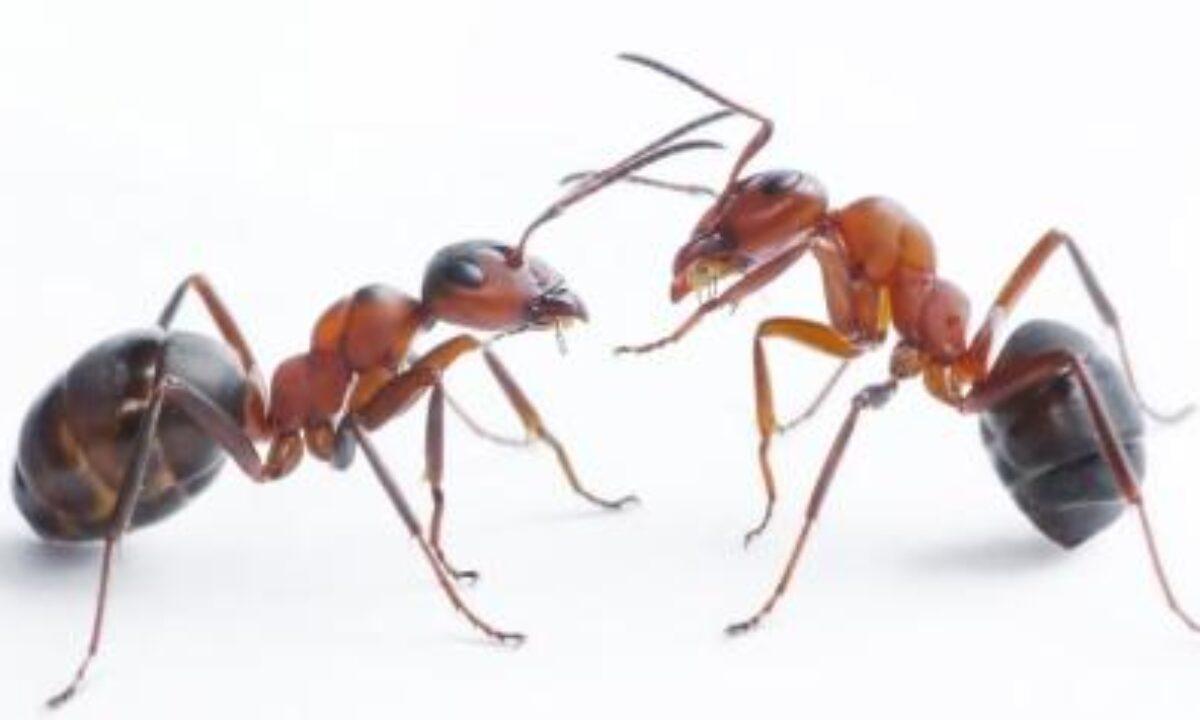 Cara Mengusir Semut Di Rumah Secara Efektif