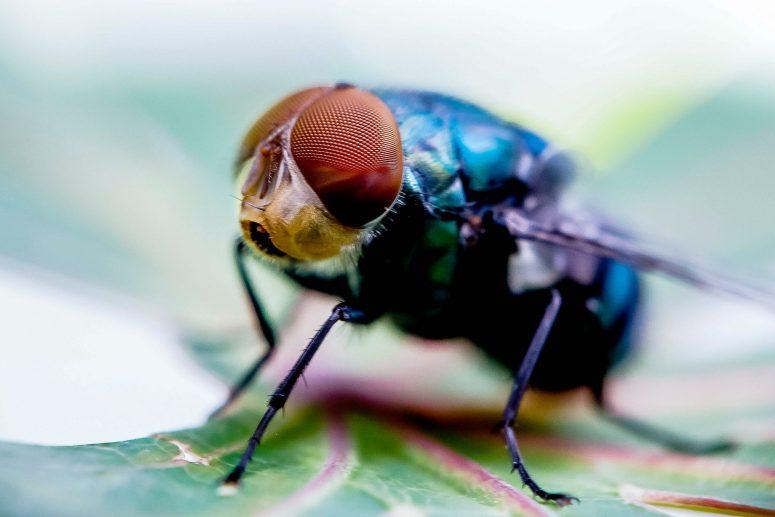 Berbagai Macam Jenis Jenis Lalat