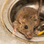 4 Penyebab Tikus Masuk Rumah Yang Sering Tidak Disadari