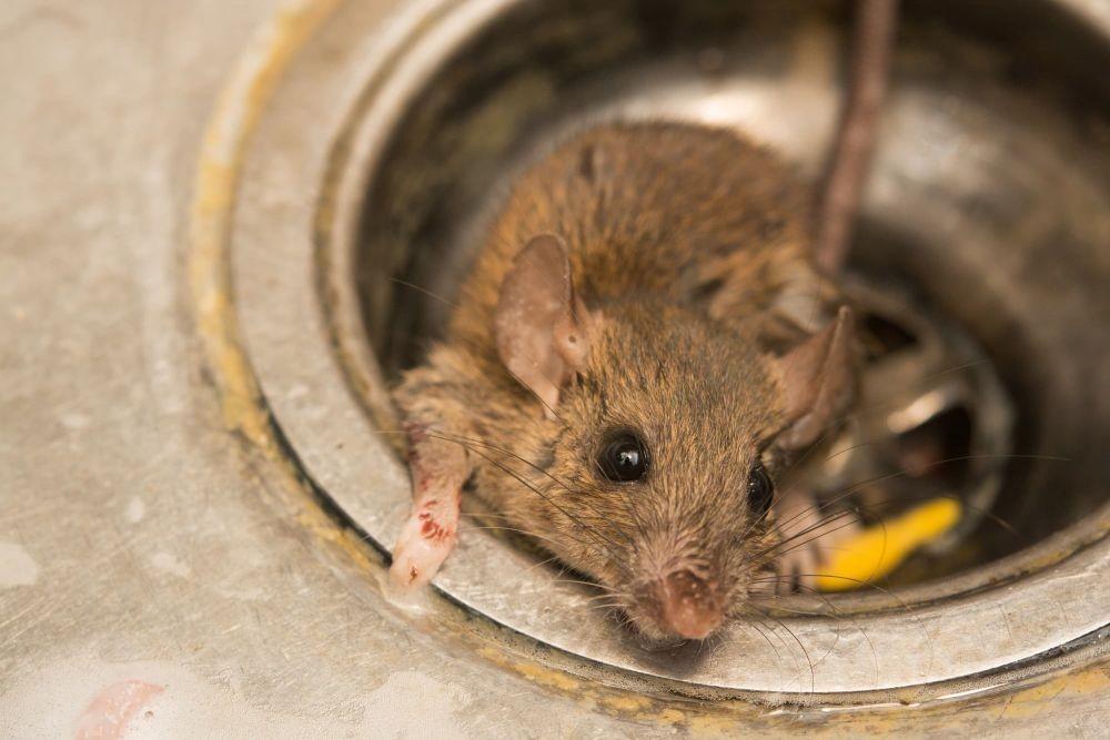 Penyebab Tikus Masuk Rumah Yang Sering Tidak Disadari