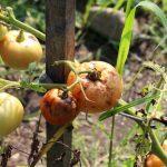 Tomat Mudah Busuk? Kenali 4 Jenis Hama Perusak Tanaman Tomat