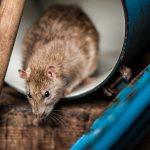 Jangan Sembarangan! Kenali 4 Jenis Hama Tikus Agar Pengendaliannya Tepat Sasaran