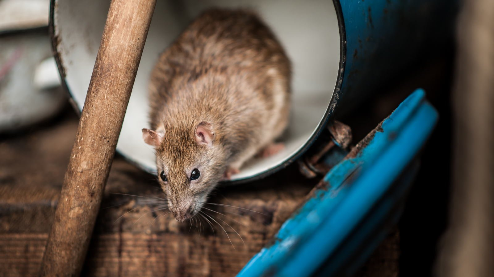 Jenis Hama Tikus