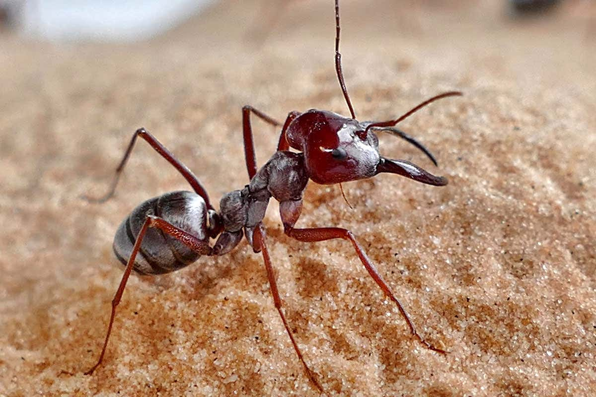 Spesies Semut Paling Sering Ditemui Di Rumah