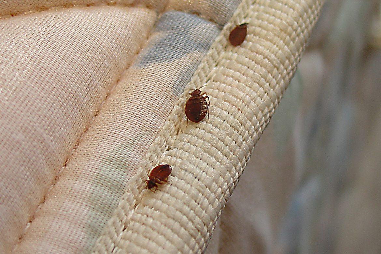 Jenis Hama Serangga Yang Hidup Di Kasur