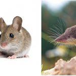 Perbedaan Hama Tikus Dan Curut Yang Terkadang Sulit Dikenali