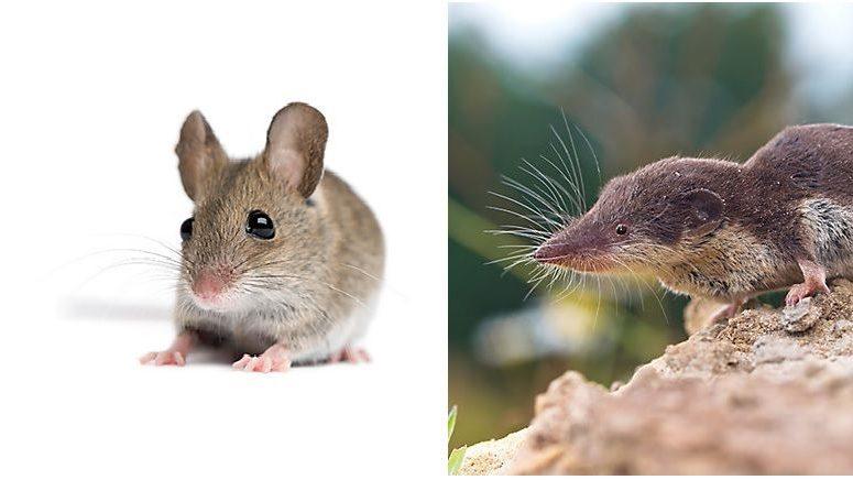 Perbedaan Hama Tikus Dan Curut