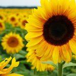 Waspada! Kenali 3 Hama Bunga Matahari Yang Bikin Bunga Kesayangan Tak Kunjung Tumbuh
