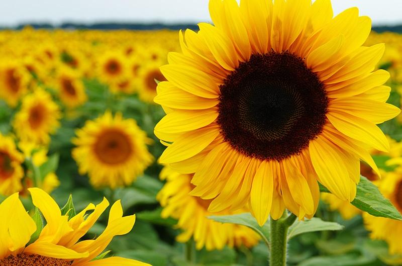Hama Bunga Matahari