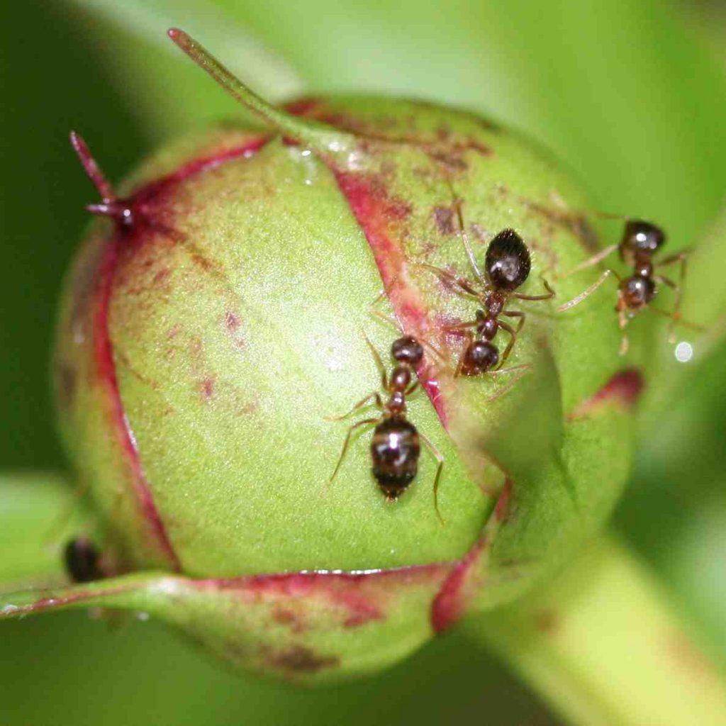 Cara Mengusir Semut Dari Tanaman