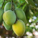 Kenali 5 Macam Hama Pohon Mangga Untuk Antisipasi Kualitas Buah Memburuk