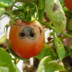 Tomat Rusak dan Tak Layak Konsumsi? Kenali Jenis Hama dan Cara Membasminya