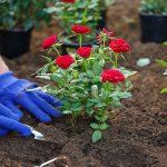 Mawar Tidak Tumbuh dengan Baik? Ketahui Penyebabnya Disini