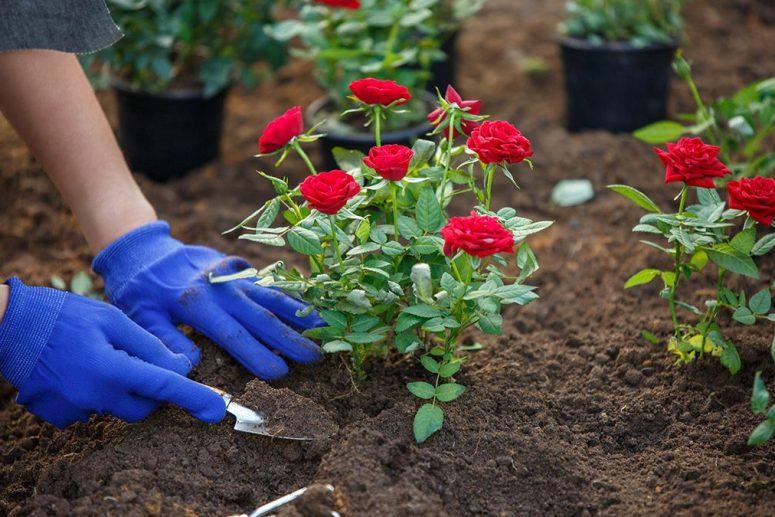 hama pada tanaman mawar